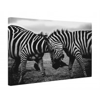 Zebras Fighting Box Canvas Print Wall Art - Choice of Sizes