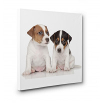 Jack Russell Puppies Box Canvas Print Wall Art - Choice of Sizes