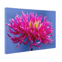 Pink Dahlia Flower Canvas Print Wall Art - Choice Of Sizes